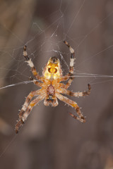 Orb-weaver spider, Araneidae in web, macro photo
