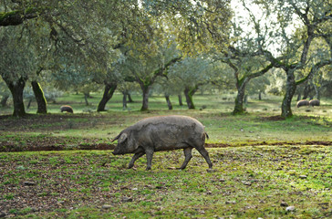 Cerdo ibérico de pata negra en la dehesa
