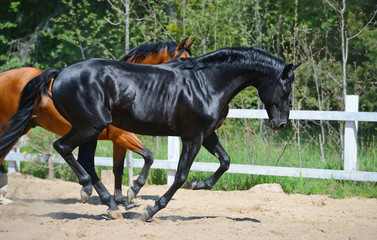 Wall Mural - Black stallion and bay stallion gallop on manege