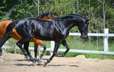 Fototapete - Black stallion and bay stallion gallop on manege