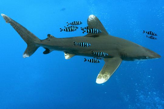 Oceanic White Tip shark - longimanus in the Red Sea