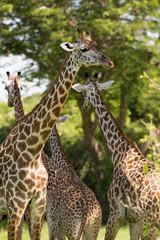 Wall Mural - Giraffe herd in Africa, Zambia