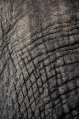 Wall Mural - Elephant skin texture