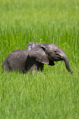 Wall Mural - Baby elephant calf in water