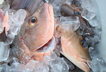Group of fresh cubera snappers on ice