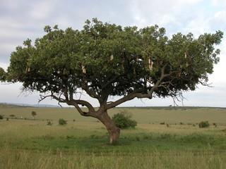 arbre dans la savane