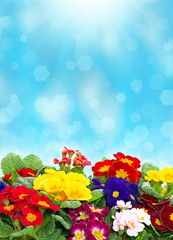 colorful primula flowers over blurred background