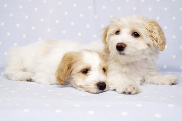 Two puppies laid on a blue background