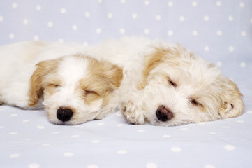 Two puppies laid sleeping on a blue background