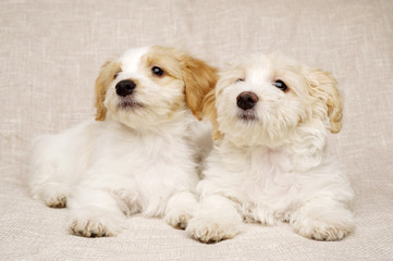 Two puppies laid on a textured beige background