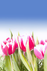 Wall Mural - Pink tulips on a blue sky