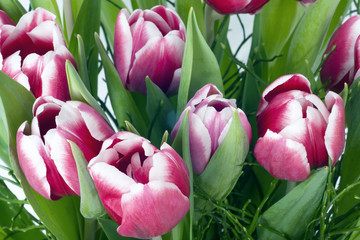 Fototapete - Pink tulips close up