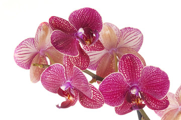 Wall Mural - Pink orchid flower