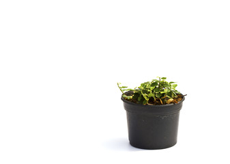 Little plant in a black pot . Isolated on white background. Spac