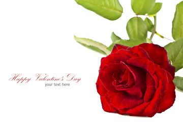 Red rose isolated on white background with copy space. .