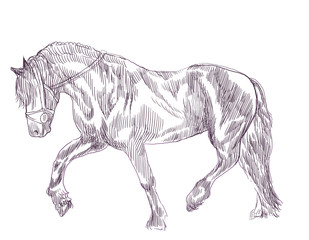 horse - an hand drawn illustration