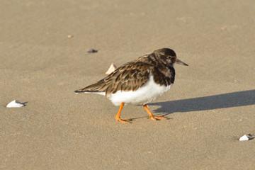 turnstone walking on beach