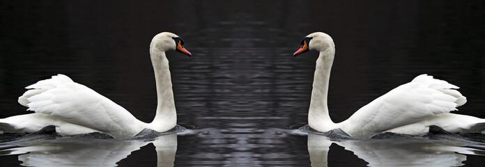 coppia di cigni riflessi nel lago