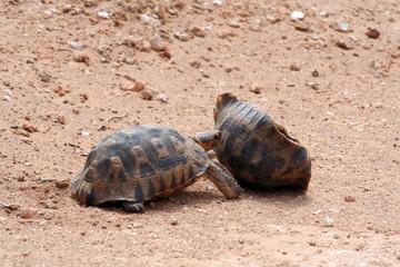 Schildkröte mit leeren Panzer