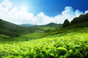 Tea plantation Cameron highlands, Malaysia Wall mural
