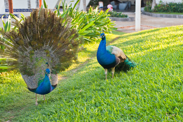 Two peacocks in a garden of tropical resort.