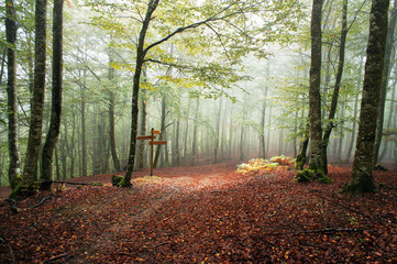 Wall Mural - Sunlight in a foggy beech forest