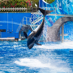 Orca is Jumping and Showing the Whole Body