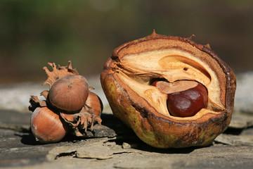 Herbstfrüchte - Hasselnuss und Kastanie