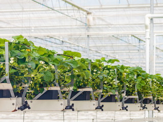 Young strawberry plants inside a greenhouse