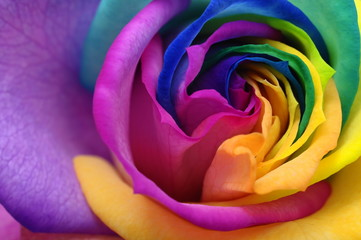 Poster de jardin Macro Close up of rainbow rose heart