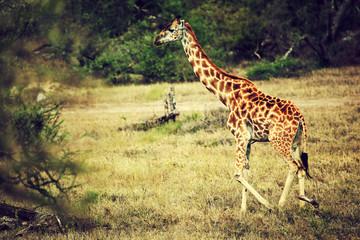 Wall Mural - Giraffe on African savanna. Safari in Serengeti