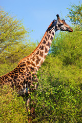 Wall Mural - Giraffe among trees. Safari in Serengeti, Tanzania, Africa