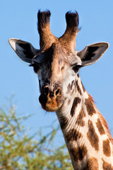 Giraffe portrait close-up. Safari in Serengeti, Tanzania, Africa
