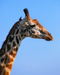 Wall Mural - Giraffe portrait close-up. Safari in Serengeti, Tanzania, Africa