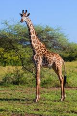Wall Mural - Giraffe on savanna. Safari in Serengeti, Tanzania, Africa