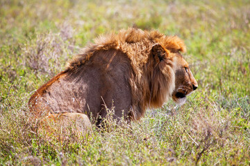 Wall Mural - Young adult male lion on savanna. Safari in Serengeti, Africa