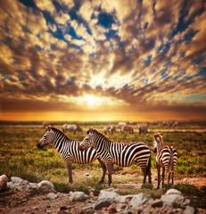 Zebras herd on African savanna at sunset. Safari in Serengeti - fototapety na wymiar