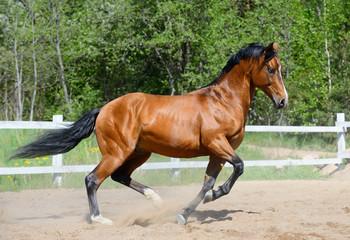 Wall Mural - Bay horse of Ukrainian riding breed