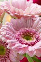 Pink gerberas, close up