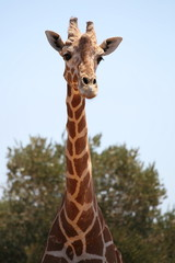 African giraffe stands on a background of green trees