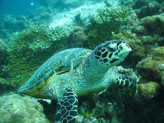A big Hawksbill Turtle in Maldivian ocean.