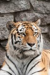 Portrait of a tiger (Panthera Tigris)