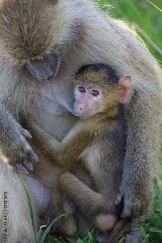 Wall mural Baby Baboon breast feeding