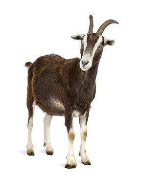 Toggenburg goat against white background