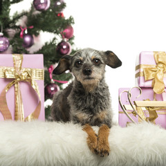 Crossbreed in front of Christmas decorations