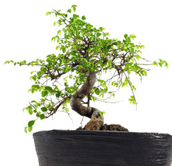 Bonsaibaum Ulme