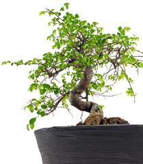 Japanische Ulme Bonsai