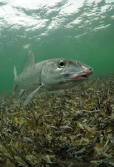 Fototapete - bonefish