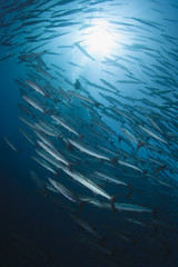 Schooling Barracudas with sunburst in blue water