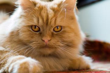 cute red cat brazen lying on the floor